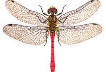 Dragonflys / A beautiful creature