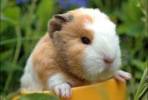 Guinea Pig Hakkında