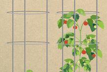 taman tomat