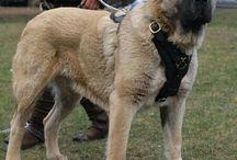 I own an Anatolian shepherd / Dog
