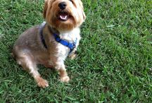 L B K / Leroy Brown Kelley Our Silky Terrier / by Richard Carter