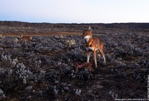 Ethiopian Wolf: A Long Farewell / Less than 500 of these handsome animals remained on the planet, and this number is decreasing. This species is endemic to highlands of Ethiopia where it is under growing pressure through human population growth, infrastructure development and agriculture expansion. In the next decade this species may become extinct due to habitat loss and diseases.   Photographing the last remaining Ethiopian Wolves is one of my long-term projects.