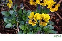 Edible flowers / by Cheri Riddell