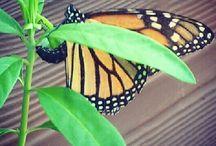 Caterpillars & Butterflys