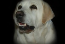 Max - most handsome yellow Labrador ; D / Max......... enough said. / by Kimberly Angel-Avila