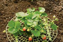 Erdbeeren auf trockenem Grund