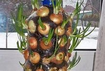plantar cebolla