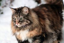 3 cats; evie / siberian cat