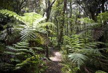 Saving NZ Kauri