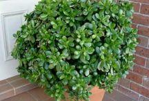 Arborele de jad