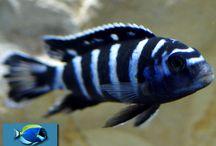 Acquari acqua dolce / Qui possiamo vedere le foto di acquari con pesci di acqua dolce