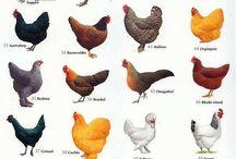 Les nom de nos poulettes