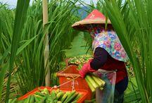Asian farming
