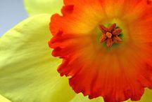 March Flower: Daffodil