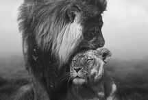 lions couples love