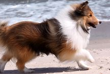 Collies and Shelties