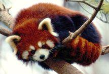 red pandas. ❤