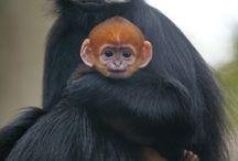 Oud en jong; apen / ouderapen met hun jong