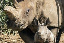 bebês rino