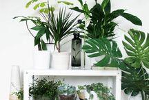 &Spathiphyllum