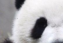 ✭ Panda ✭