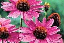 I min hage / Planter, stauder, roser og busker som jeg har i hagen min!