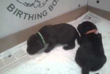 Labrador puppies / Minnie just had puppies.