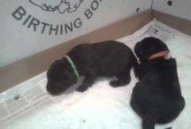 Labrador puppies / Minnie just had puppies.