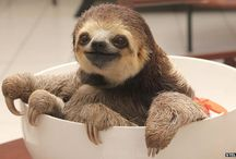Cute Sloths / The cutest sloths we can find!