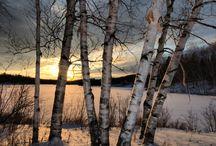 oil birch