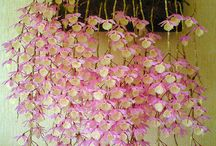 Orchids to dream about ...