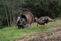 Turkey Hunting / Check out these tips for your turkey hunting season!
