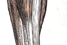 Anatomia musculorum