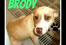 Adopt: Brody the Lab