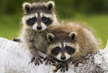 Adorable Masked Bandits*(Racoons)* / by Clara Sears