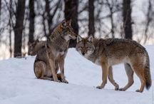WOLVES(THE HUMAN OF HOPE)