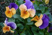 violka trojbarevná