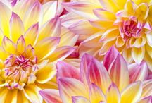 Darling Dahlias♥
