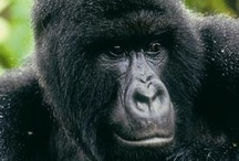 Gorilla Trekking / The amazing experience of getting with a few metres of the humbling Silverbacks is a travel experience not to be missed!