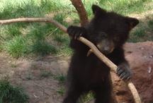 Bear Cubs are the cutest