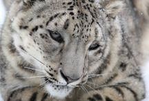 0 Leopard