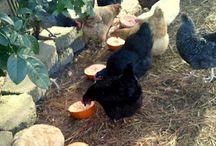 Chickens / by Lisa Nicholas