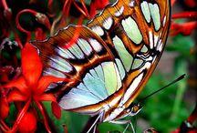 kare kelebek