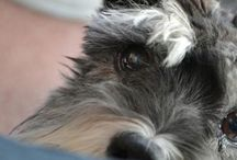 I want a schnauzer!!  / How adorable are these litle dogs!