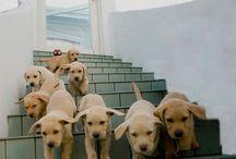 mes futur chiens