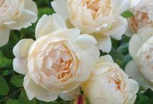 York Roses/rose garden