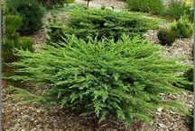 Juniperus conferta Fövényboróka.