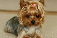 ღ yorkshire terrier & Maltese dog ღ