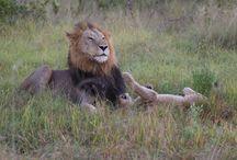 Lions: Majingilani males