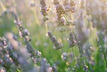 Lavender / Лаванда